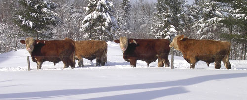 young bulls in winter pens